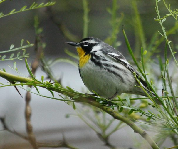 Yellow-throated Warbler photo #4