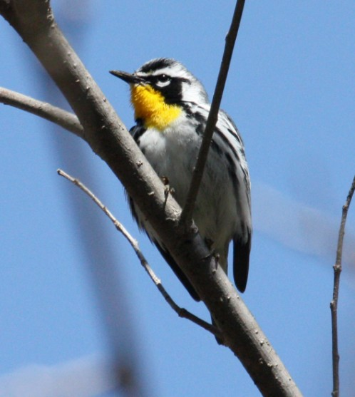 Yellow-throated Warbler photo #1