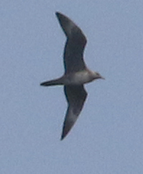 Long-tailed Jaeger (juvenile)