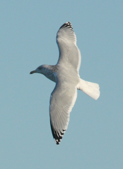 Herring Gull (Adult with limited black in the primaries)