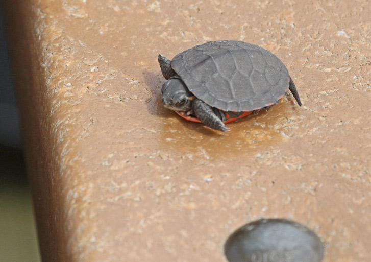 Midland Painted Turtle (juvenile)