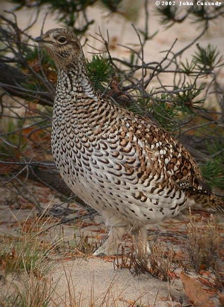 Sharp-tailed Grouse Photo 2